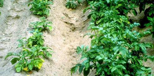 Картофельная нематода и другие виды паразита: характерные признаки и фото