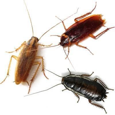 Виды тараканов, их особенности и методы борьбы с ними