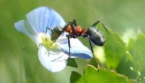 Кто ест муравьев в природе, чем питаются муравьи, их рацион