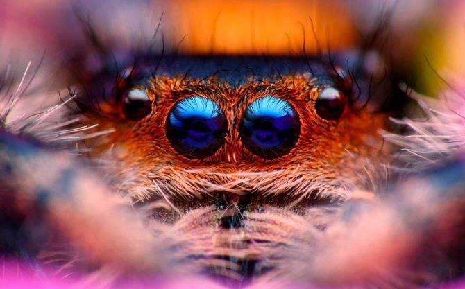 Паук-скакунчик – чемпион среди прыгунов. паук-скакун – самый стремительный представитель своего семейства могут ли пауки прыгать