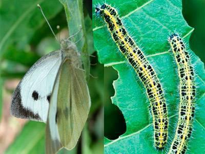 Чем опасна бабочка капустница? как не допустить уничтожения урожая?