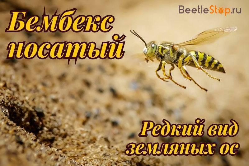 Бембекс носатый— полосатый истребитель мух