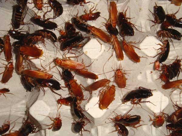Мелок машенька — надёжное средство от тараканов и клопов