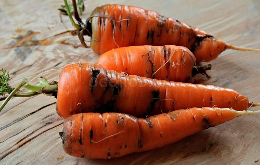 Как спасти урожай от морковной мухи