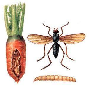 Чем обработать лук от луковой мухи: рейтинг работающих рецептов дачников