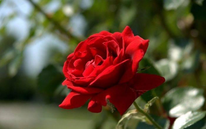 Чем обработать розу от тли?