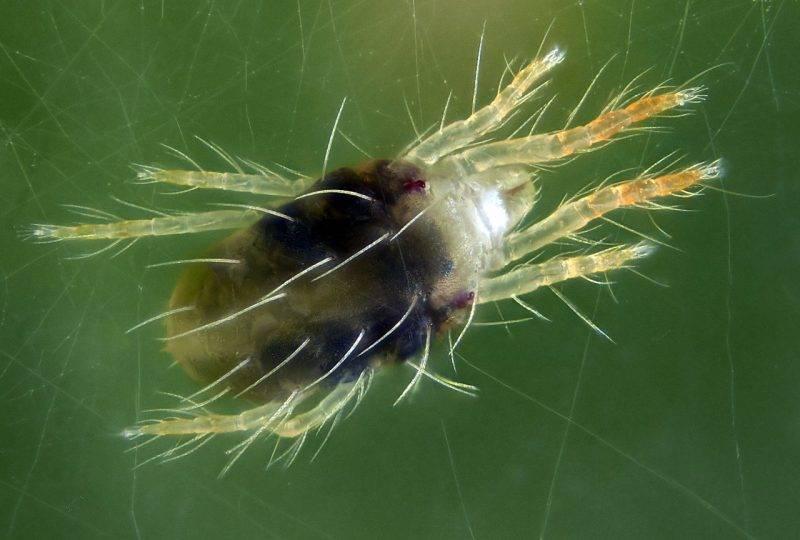 Что представляют собой пылевые клещи, чем они опасны и как от них избавиться?