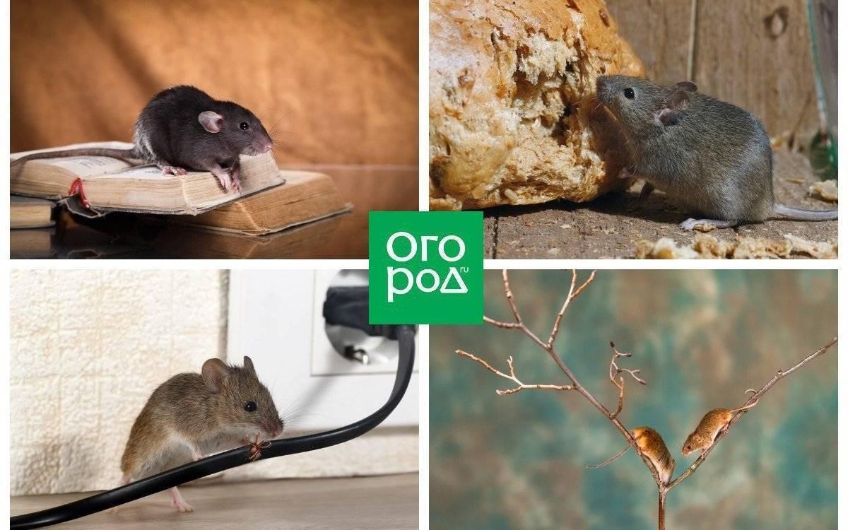 Как избавиться от мышей в огороде и дачном (частном) доме