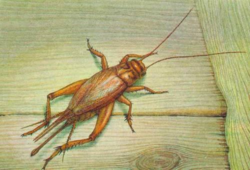Как выглядит сверчок — фото и описание видов насекомого. сверчок насекомое. образ жизни и среда обитания сверчка