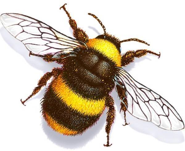 Чем отличается оса от пчелы и шершня