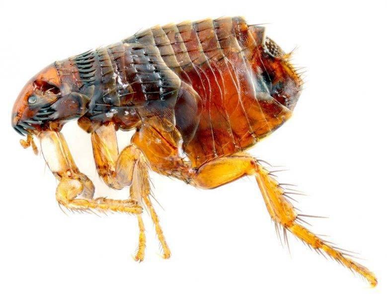 Блохи в квартире – как избавится и чем травить насекомых