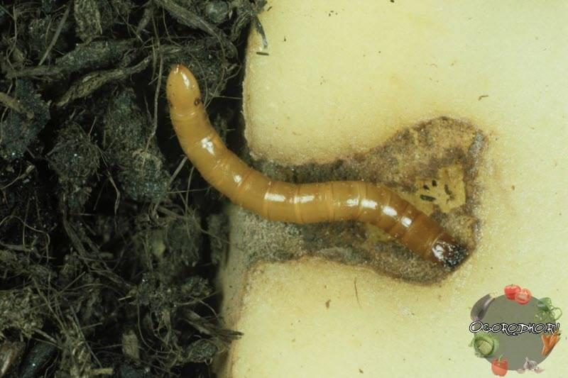 Чем обработать почву осенью, чтобы избавиться от проволочника