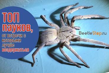Черные вдовы – вид смертоносных пауков, широко распространенных по всему миру. чёрная вдова паук. образ жизни и среда обитания чёрной вдовы разновидность черной вдовы