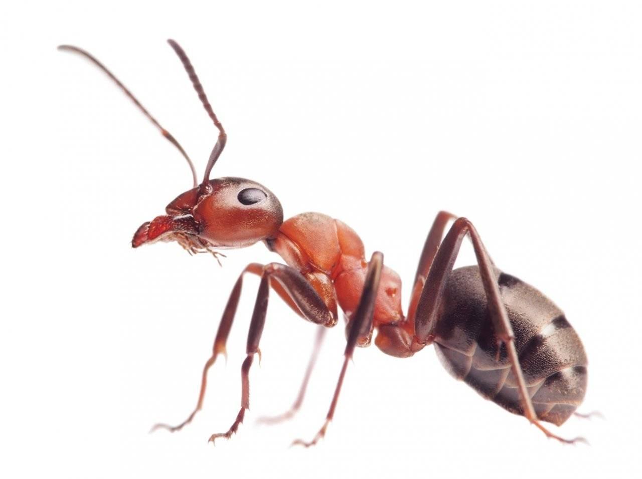 Борьба с муравьями в доме или квартире