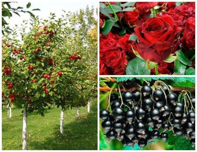 Чесночные настои против вредителей огородов и садов