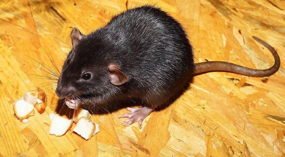 Как избавиться от земляной (водяной) крысы на огороде