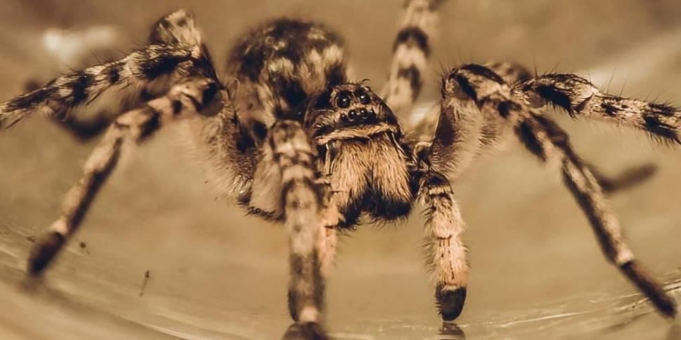 Паук тарантул (лат. lycosa)