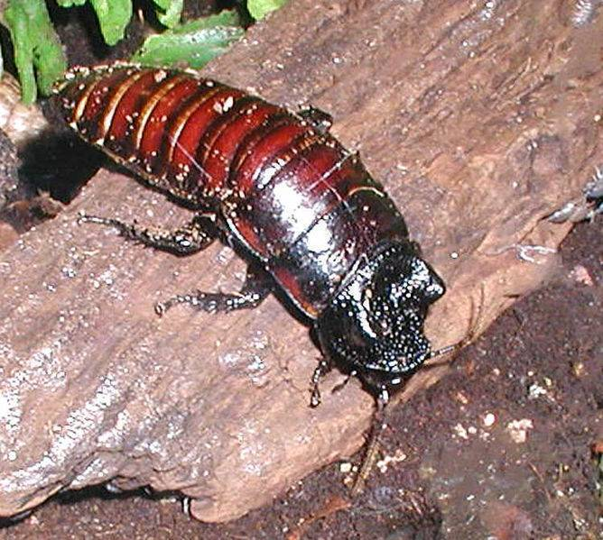 Как выглядит самый большой в мире таракан