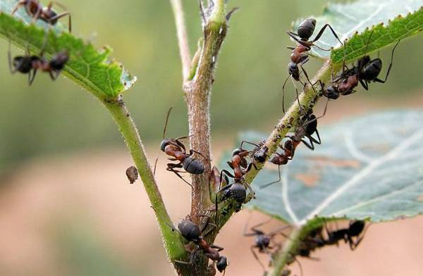 Чем опрыскивать деревья оттли имуравьев