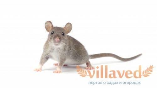 Какие запахи отпугивают мышей