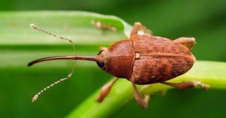Чем и когда опрыскивать клубнику от долгоносика весной