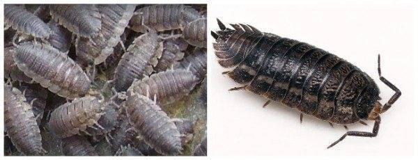 Виды мокрицы, особенности строения и жизнедеятельности, а также борьба с этим насекомым и многое другое