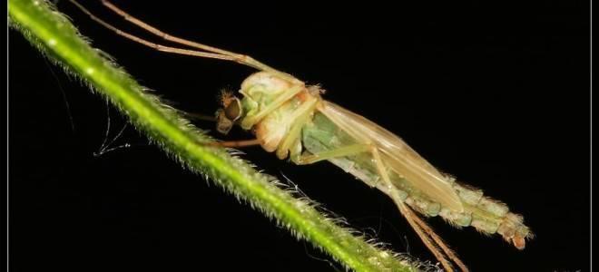 Зеленые комары-звонцы комары-дергуны