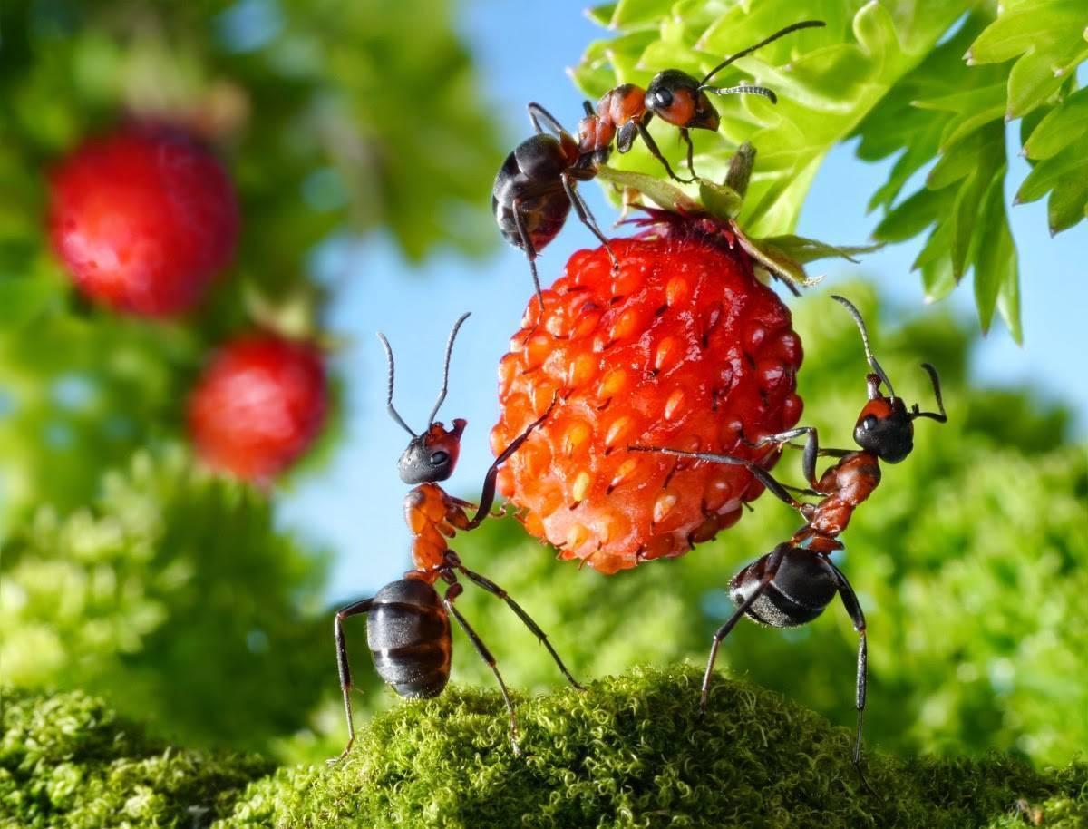 Как избавиться от муравьев уксусом