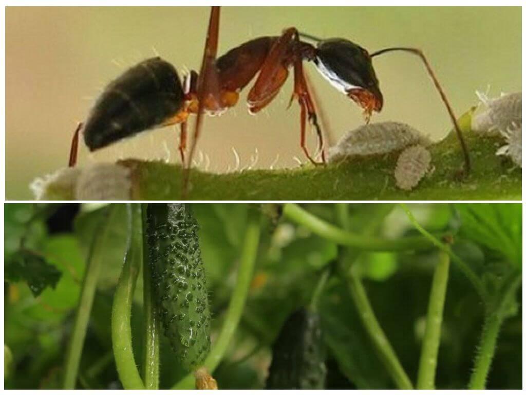 Методы борьбы с муравьями на грядках с огурцами