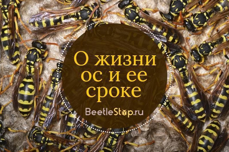 При какой температуре осы засыпают. осы покидают свои дома осенью, где же они зимуют? весенние хлопоты общественных ос