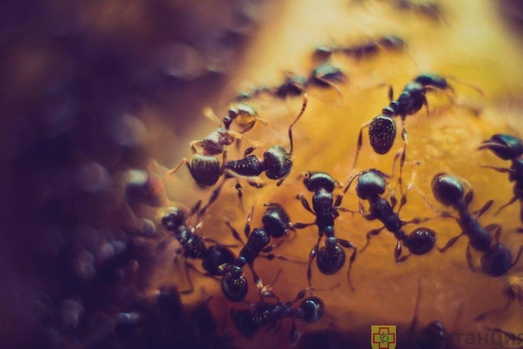 Желтые муравьи: описание, средства от муравьев и как избавиться в домашних условиях