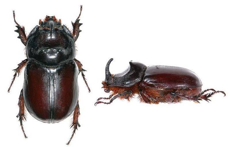 Как избавится от медведки и личинок майского жука