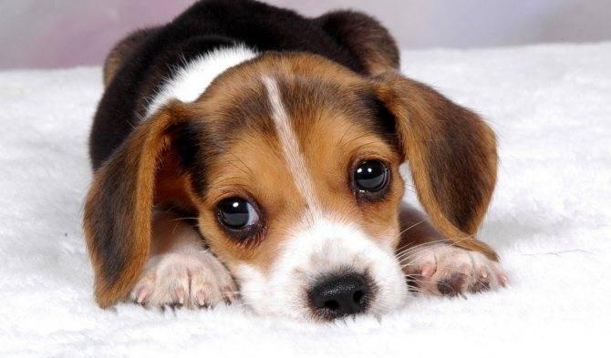 Ушной клещ у собак: симптомы, пути передачи, лечение