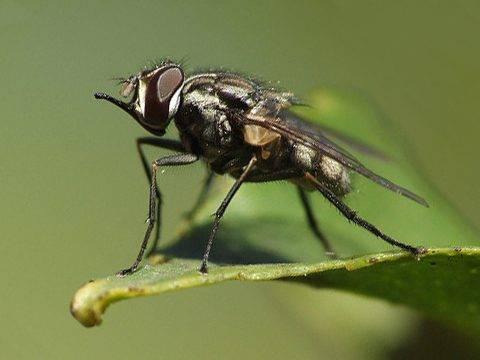 Ростковая муха: описание и методы борьбы с вредителем