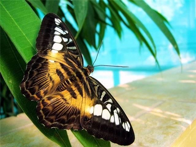 Что делать, если на огороде появилась бабочка — бражник: фото, опасны ли бабочки и их гусеницы для урожая