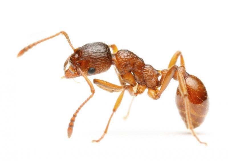 Насекомые дома? поспешите в аптеку за борной кислотой от муравьев