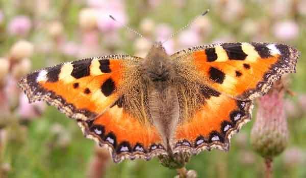 Бабочка многоцветница — описание, среда обитания, виды