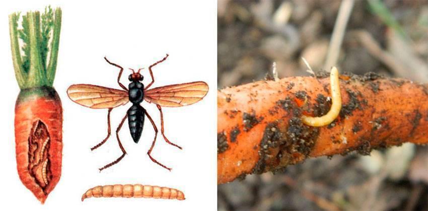 Болезни и вредители моркови - борьба с ними, фото и описание симптомов