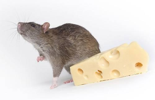 Как бороться с крысами в домашних условиях