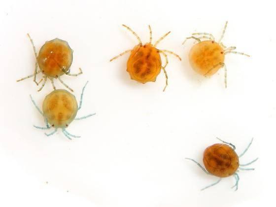 Водяные клещи (hydrachnidae) – морские и пресноводные виды, как выглядят, чем питаются, опасны ли для человека