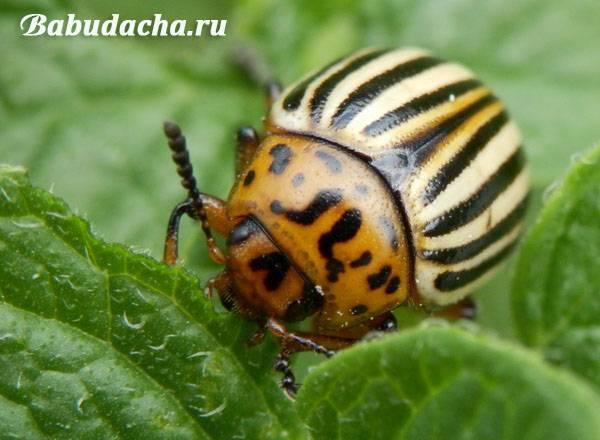 Колорадский жук: как избавиться от вредителя