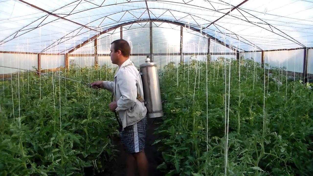 Как избавиться от белокрылки на томатах и огурцах в теплице