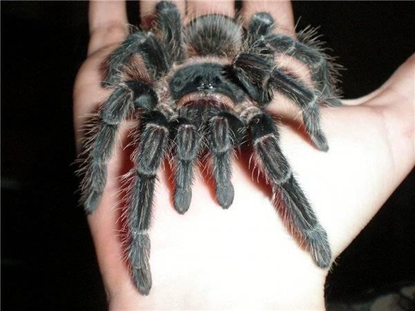 Какую площадь занимает один тарантул на воле. необыкновенный паук тарантул и многообразие его видов
