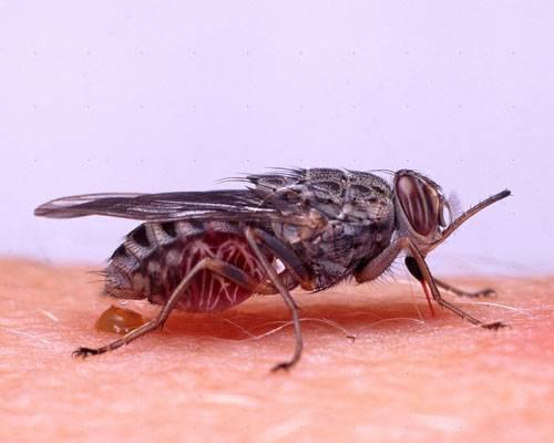 Муха цеце муха цеце