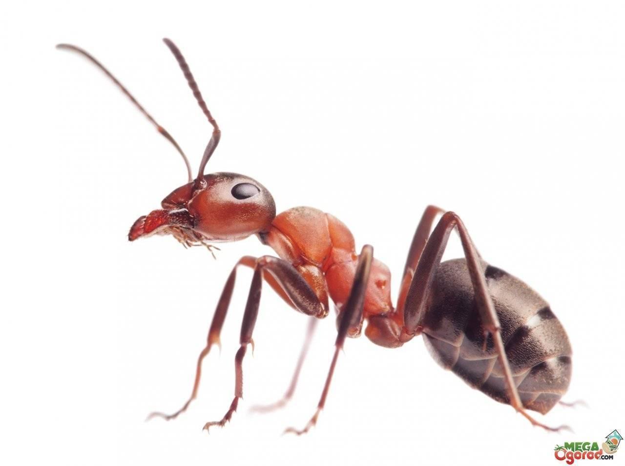 Как избавиться от маленьких рыжих муравьев в квартире навсегда