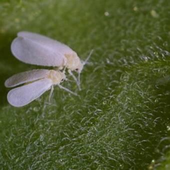 Вредители капусты – как спасти свой урожай
