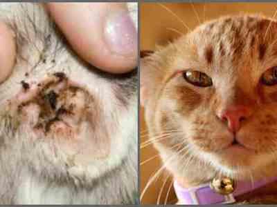 Ушной клещ у кошек – симптомы, лечение отодектоза