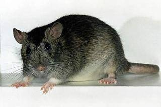 Чем отличаются мыши от крыс