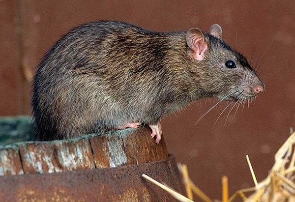 Как избавиться от нашествия крыс в курятнике? современные и народные меры борьбы с опасными грызунами