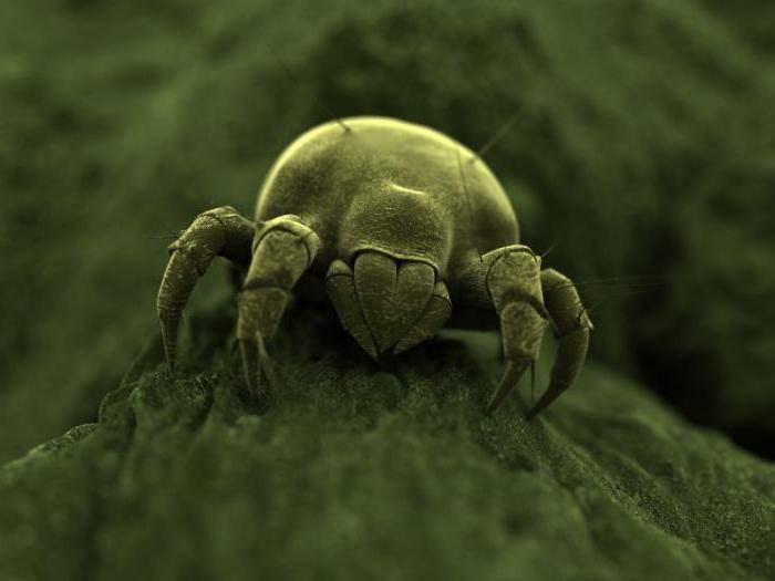 Перьевой клещ в подушках: симптомы у человека, насколько опасен
